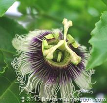 パッション(時計草)の花