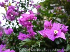 ブーゲンビリア(奄美世のごはん) by DoctorsSuggestion.com
